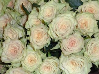 kameleon rose