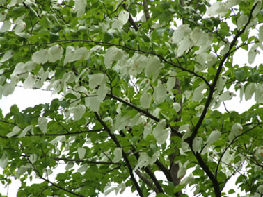 handkerchief tree