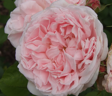 David Austin Rose