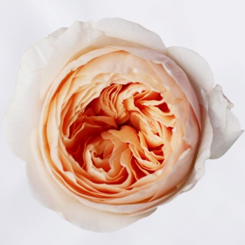 David Austin Juliet rose