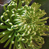 Green-Chrysanthemum