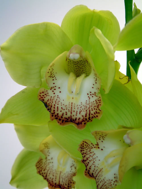 Green-Cymbidium-Orchid
