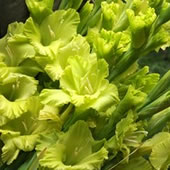 Green-Gladioli
