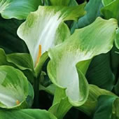 Green-Goddess-Arum-Lily