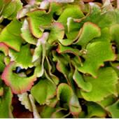 Green-Hydrangea