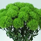 Green-Trick-Dianthus