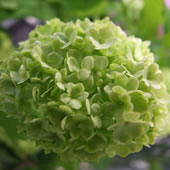 Green-Viburnum