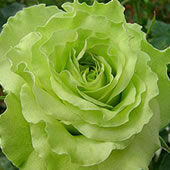 Super-Green-Rose