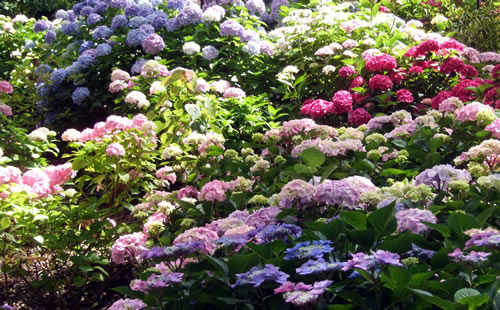 hydrangea-plants
