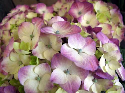purple-white-hydrangea