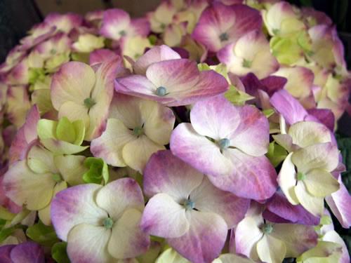 purple-white-hydrangea