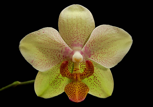 green-phalaenopsis-orchid