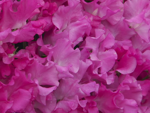 pink-sweet-peas