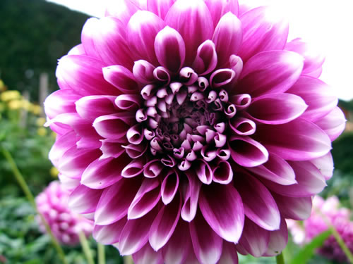 purple-dahlia