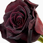 black-baccara-rose