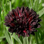 black-cornflower
