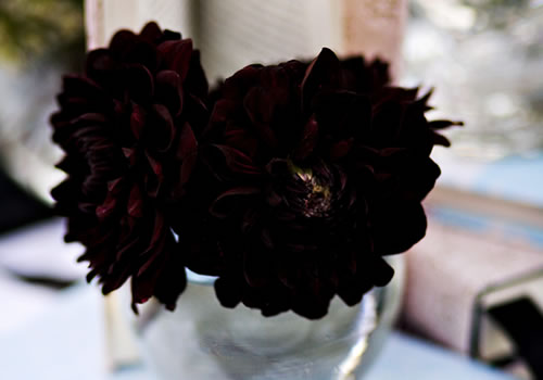 black-dahlia-flower