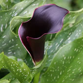 black-forest-calla-lily