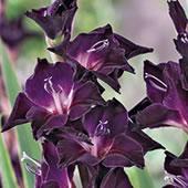 black-gladioli