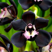 black-orchid