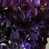 black-sweet-pea