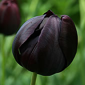 queen-of-the-night-tulip
