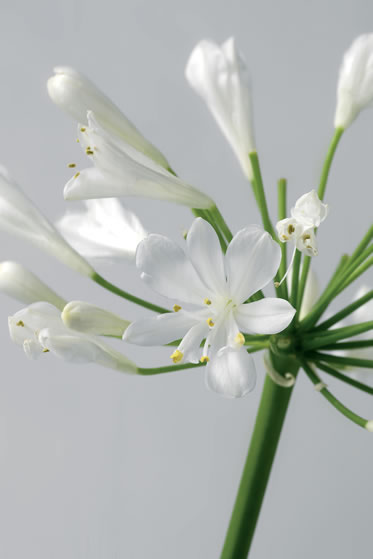 white-agapanthus