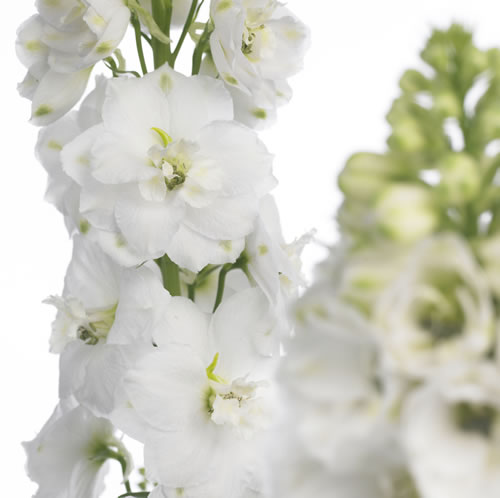 white-delphinium